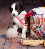 Messy puppy Royalty Free Stock Images