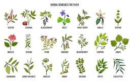 Mest bra medicinska örter för feber vektor illustrationer