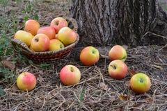 Mest bra vitamin för äpplen för hälsa, höstskörd Fotografering för Bildbyråer