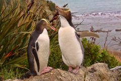 Mest dyrbar pingvinuppehälle, Guling-synad pingvin, Megadyptes antipoder, Nya Zeeland Arkivfoton