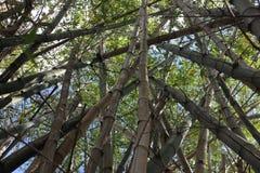 Mest forrest bambu Fotografering för Bildbyråer
