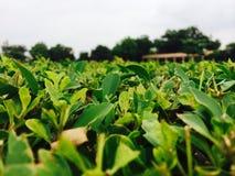 Mest grön grönska Arkivbild