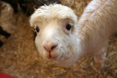 mest gullig någonsin llama Arkivbilder