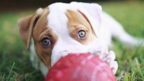 Mest gullig valp med gröna ögon som spelar med bollen och lägger ner i gräs arkivfilmer