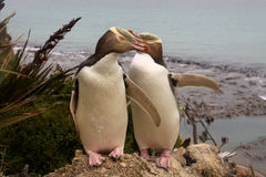 Mest sällsynt Guling-synad pingvin, megadyptesantipoder, Nya Zeeland, södra ö fotografering för bildbyråer