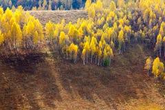 Mesteceni. Fall on Bedeleu Mountains, Alba county, Romania, Birches Stock Photo
