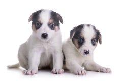 Mestiço de dois cachorrinhos Imagens de Stock Royalty Free