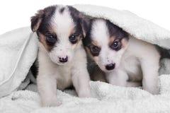 Mestizo de los perritos en manta Imagenes de archivo