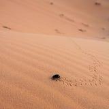 Mestkever in woestijn Stock Afbeeldingen