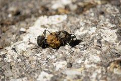 Mestkevers royalty-vrije stock afbeelding