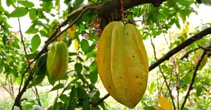 Mesure Star fruit royalty free stock images