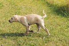 Metà di scossa catturata cucciolo Fotografie Stock Libere da Diritti