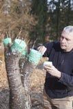 Metà di uomo invecchiato che innesta albero da frutto Immagini Stock