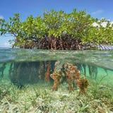 Metà qui sopra e radici subacquee dell'albero della mangrovia fotografia stock