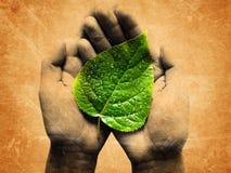 Met dauw bedekt blad in handen Stock Foto