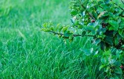 Met dauw bedekt en nat gras Royalty-vrije Stock Afbeeldingen