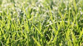 Met dauw bedekt Gras Stock Fotografie