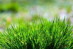 Met dauw bedekt groen gras, vage achtergrond Stock Afbeelding