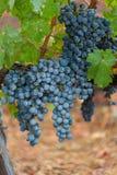Met dauw bedekte druiven Stock Fotografie