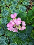 Met dauw bedekte hydrangea hortensia's onder succulents royalty-vrije stock foto