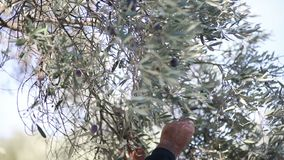 Met de hand oogstend olijven stock footage