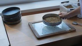 Met de hand zevend van korrels van tarwe, haver, gerst, rogge door zeefje voor kwaliteitscontrole of analyse stock videobeelden