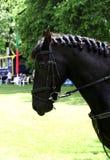Met en communication des chevaux dans les munitions avant des concours photos libres de droits