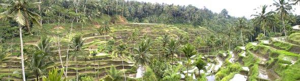 met en place des terrasses de riz de l'Indonésie image libre de droits