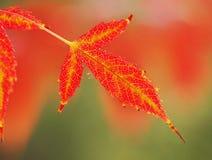 Met gouden aders rood blad Stock Afbeelding