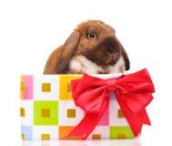Met hangende oren konijn in een giftdoos met rode boog Royalty-vrije Stock Foto's
