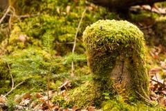 Met mos behandelde stam in bos Royalty-vrije Stock Afbeeldingen