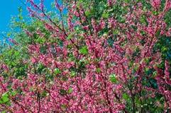Met roze bloemenboom Stock Foto