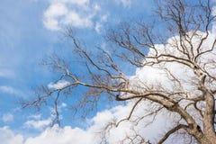 Met schone en blauwe hemel, leafless oude reusachtige vliegtuigboom stock afbeeldingen