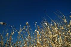 Met stro bedek en sneeuw Stock Foto's