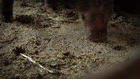 Meta el hocico buscar la comida en el piso en la pocilga, un cerdo grande en una granja de cerdo, comida de la aspiración de los  metrajes