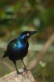 Metaal blauwe vogel stock fotografie