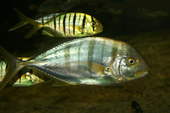 metaalic的鱼 库存照片