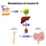 Metabolism of vitamin D. Synthesis of vitamin D3 in humans begins in the skin Stock Photo