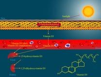 Metabolismo de la vitamina D Fotografía de archivo