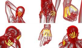 Metacarpal bone Stock Image