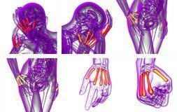 Metacarpal bone Stock Photography