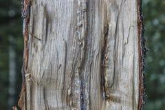 A metade de uma árvore rachou o tronco de árvore nas madeiras imagem de stock royalty free