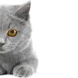 Metade do gatinho azul britânico Fotos de Stock Royalty Free