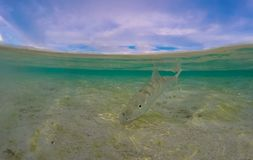 Metade no bonefish da água em uma praia tropical da água salgada subaquática lisa Foto de Stock Royalty Free