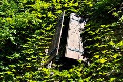 A metade velha da janela de madeira aberta shutters coberto de vegetação com a hera Imagens de Stock Royalty Free