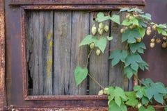 Metal стена при ржавчина, который взошли на борт вверх с деревянным окном планок Ветви смертной казни через повешение хмелей Стоковая Фотография RF