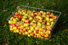 Metal basket full of hand picked apples. Metal basket full of freshly hand picked apples. The green autumn grass on the background Royalty Free Stock Photos