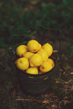 Metal Basket of Lemons. Metal basket full of bright yellow lemons with a natural/nature background Stock Photo