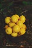 Metal Basket of Lemons. Metal basket full of bright yellow lemons with a natural/nature background Stock Image