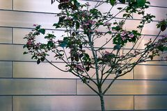 Metal bricks with small pink tree. Small pink dogwood tree against metal brick wall Royalty Free Stock Image